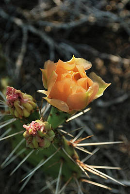 Photograph - Prickly Pear Blossom by Ron Cline