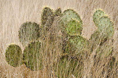 Photograph - Prickly Pear Cactus In The Grass. by Rob Huntley
