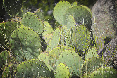 Photograph - Prickly Pear Cactus Landscape by Andrea Hazel Ihlefeld