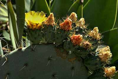 Photograph - Prickly Pear Cactus by Michael Gordon