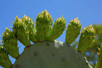 Photograph - Prickly Pear Cactus by Steve Gravano
