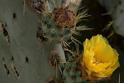 Photograph - Prickly Pear Cactus Up Close by Michael Gordon