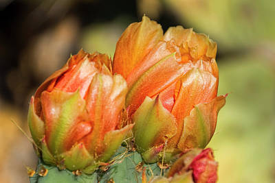 Photograph - Prickly Pear Flower H06 by Mark Myhaver