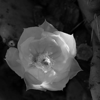 Photograph - Prickly Pear Flower by Laurel Powell