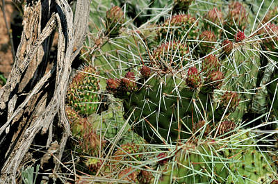 Photograph - Prickly Pear Revival by Ron Cline