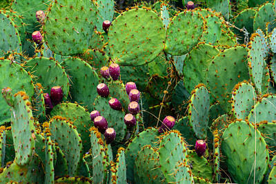 Photograph - Prickly Pear by Tikvah's Hope
