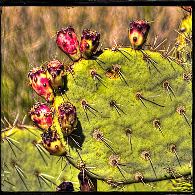 Photograph - Prickly Pear Spring Fruit by Roger Passman