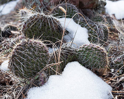 Photograph - Prickly Pears by Brian Stricker