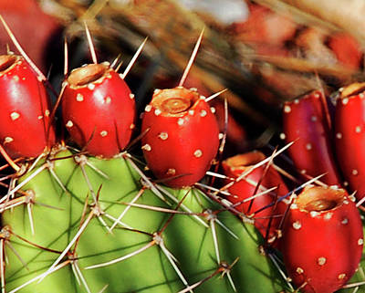 Photograph - Prickly Pears by Kathleen Stephens