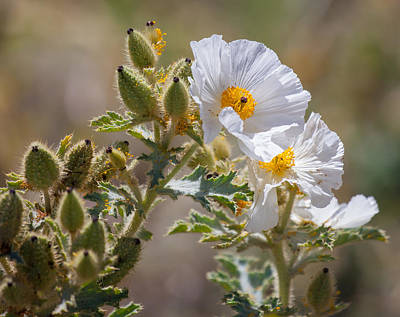 Photograph - Prickly Poppy by Melinda Fawver