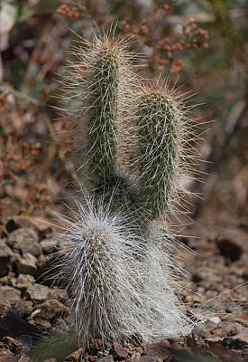 Photograph - Prickly by Suzanne Gaff