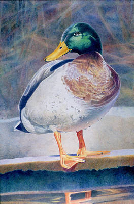 Drawing - Pride - Male Mallard by Bob Nolin
