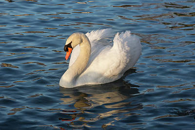 Photograph - Pride And Grace - Swan Gliding On Satiny Ripples by Georgia Mizuleva