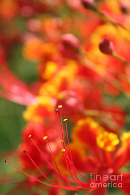 Flamboyan Photograph - Pride Of Barbados by Sharon Mau