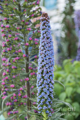 Blue Flowers Photograph - Pride Of Madeira by Tim Gainey