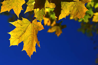 Maple Leaf Photograph - Primary Autumn by David Andersen