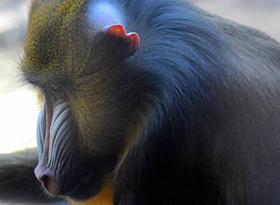 Photograph - Primate1 by Joseph Hedaya