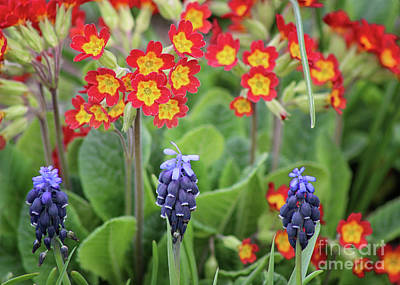 Photograph - Primrose And Hyacinths by Karen Adams