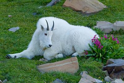 Photograph - Primrose Goat by Kent Keller