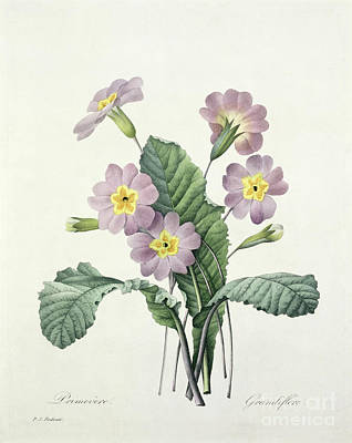 Natural Drawing - Primrose by Pierre Joseph Redoute