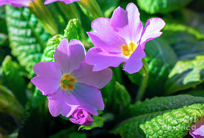 Photograph - Primroses by Nina Ficur Feenan