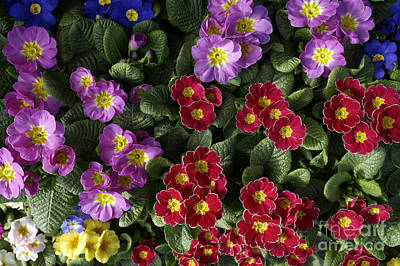 Photograph - Primula Davona Flowers by John  Mitchell