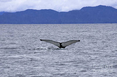 Photograph - Prince Rupert Humpback Whale by Louise Magno