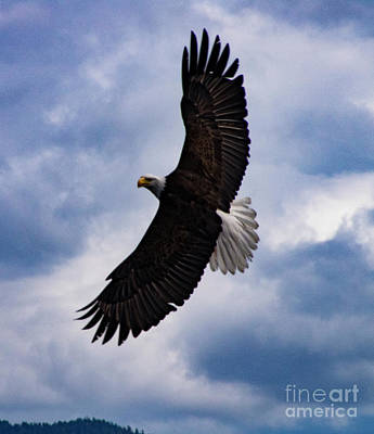 Photograph - Prince Rupert Soaring Eagle by Louise Magno