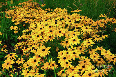 Photograph - Prince's Island Park Brown Eyed Susans by Donna L Munro