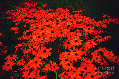Photograph - Prince's Island Park Brown Eyed Susans Red Glow by Donna Munro