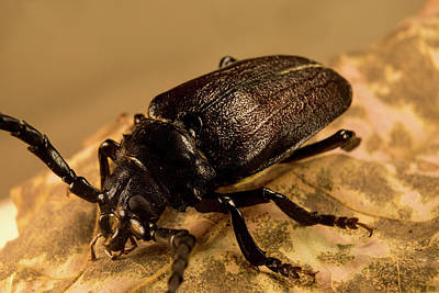 Photograph - Prionid Beetle On The Hunt by Douglas Barnett