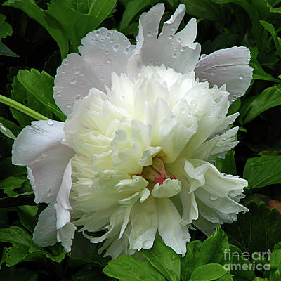 Pristine Peony Art Print by Deborah Johnson