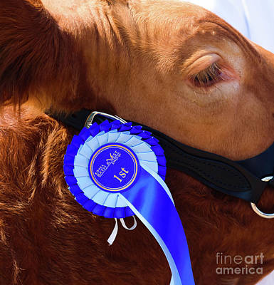 Photograph - Prize Bull by Colin Rayner