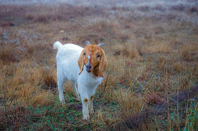 Nature Photograph - Prize Goat by Bob Marquis