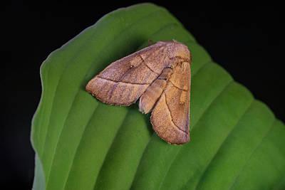 Photograph - Probably A Bent Line Dart Moth by Douglas Barnett