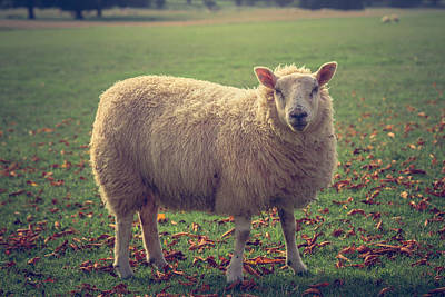 Autumn Leaf Photograph - Professional Sheep Model by Chris Fletcher