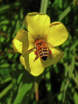 Photograph - Professor Bee Investigates The Buttercup by Mark Blauhoefer