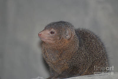 Photograph - Profile And Face Of A Dwarf Mongoose by DejaVu Designs