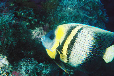 Profile Of A Cortez Angelfish Art Print by James Forte