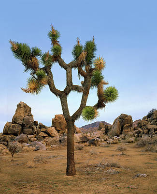 Profile Of A Joshua Tree Art Print