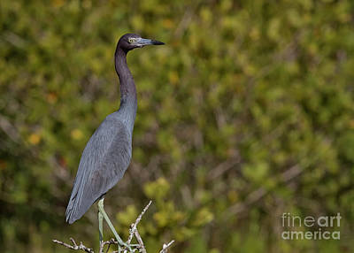 Photograph - Profile Of A Little Blue Heron by David Cutts