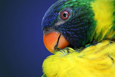 Photograph - Profile Of A Lorikeet by Debi Dalio