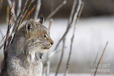Canadian Lynx Photograph - Profile Of A Lynx by Tim Grams