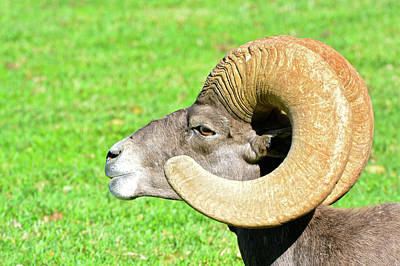 Photograph - Profile Of A Male Bighorn Sheep by Don Mercer