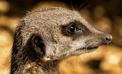 Photograph - Profile Of A Meerkat by Chris Boulton