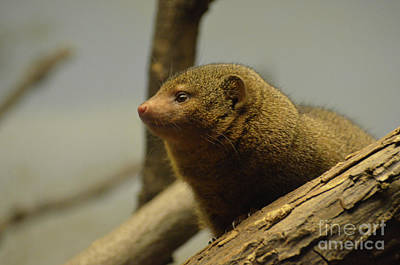 Photograph - Profile Of A Mongoose Peering Out Of A Fallen Log by DejaVu Designs
