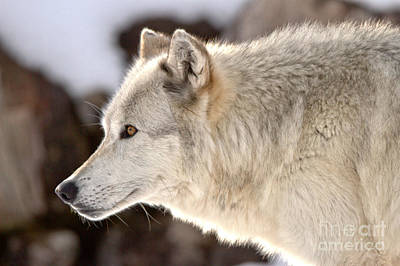 Photograph - Profile Of A Montana Predator by Adam Jewell