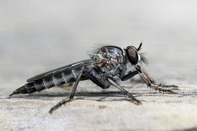 Photograph - Profile Of A Robber Fly  by Doris Potter
