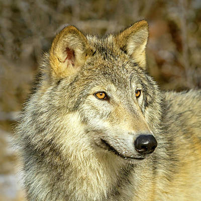 Photograph - Profile Of A Wolf by Jack Bell