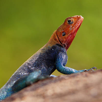 Profile Of Male Red-headed Rock Agama Art Print by Achim Mittler, Frankfurt am Main